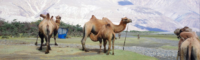 slide-nubra-kamele