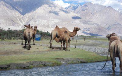 nubratal-kamele
